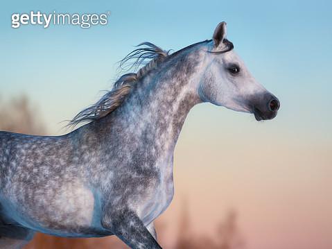 Gray Arabian horse on background of evening sky - gettyimageskorea