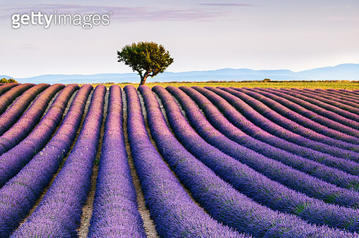 Lavender field and tree in summer, Provence, France - gettyimageskorea