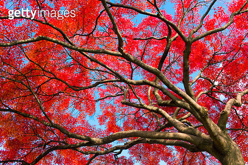 Red Japanese Maple Leaves - gettyimageskorea
