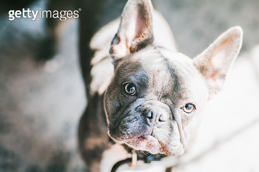 close up of French Bulldog standing in a patch of sunlight - gettyimageskorea
