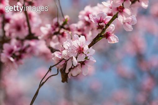복숭아꽃 - gettyimageskorea