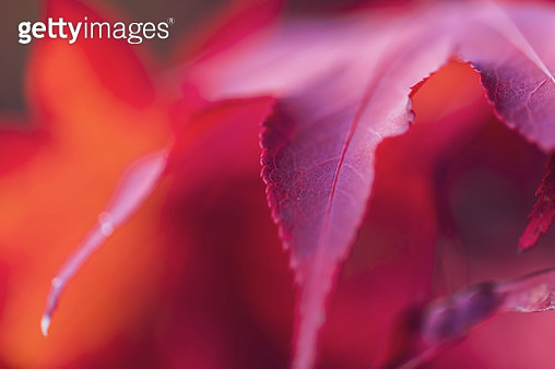 Close-up of red maple leaves. - gettyimageskorea