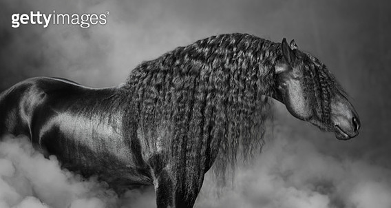 The portrait of black Frisian horse with long mane - gettyimageskorea
