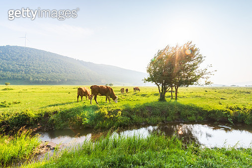 Cows at grass - gettyimageskorea