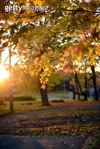 branches with golden colored maples leaves, seen in a golden sunset light - gettyimageskorea