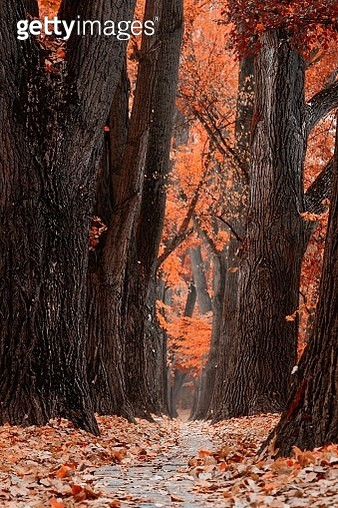Pine Trees In Forest During Autumn - gettyimageskorea