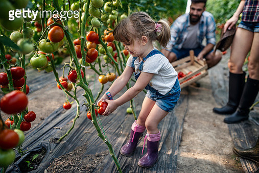 A little girl helps her parents harvest tomatoes - gettyimageskorea