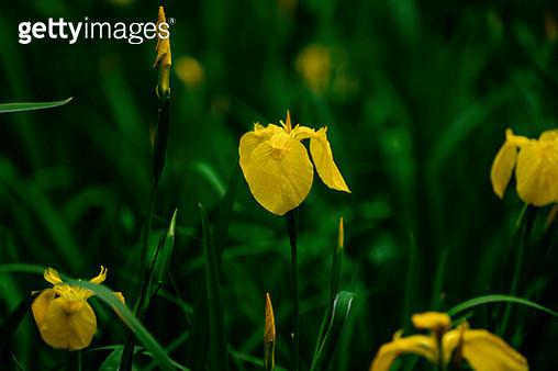 Irises with Futaiji-temple - gettyimageskorea