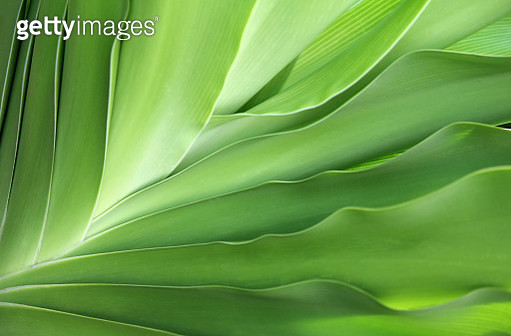 Close up of a tropical leaves showing leaf edges and fanned out patterns - gettyimageskorea