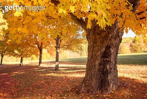 Sugar maple trees in sunlight during Fall season, Vermont, New England, Usa - gettyimageskorea