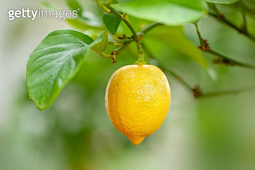 Close-up image of a lemon yellow fruit hanging in its tree - gettyimageskorea