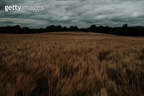 Barley Field at dusk - gettyimageskorea