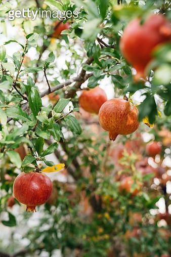 Pomegranates on the Tree - gettyimageskorea