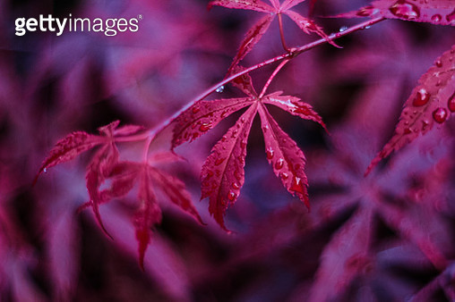 Close-Up Of Red Leaves On Plant - gettyimageskorea