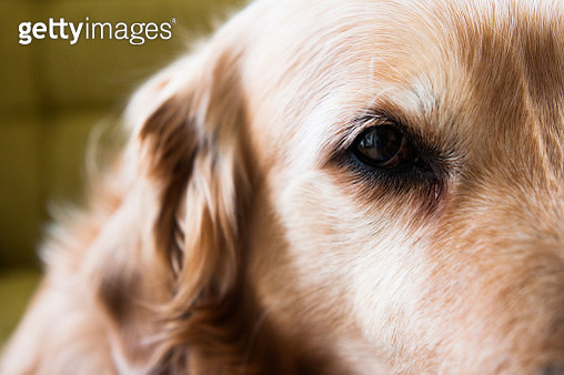Close-up of a golden retriever dog's ear and eye - gettyimageskorea