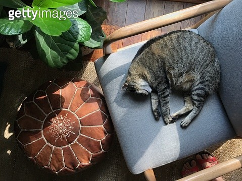 Tabby Cat Sleeping on a Chair with a Leather Pouf and Houseplant - gettyimageskorea