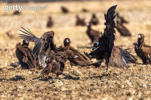 독수리 - gettyimageskorea