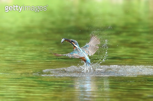 물총새 - gettyimageskorea