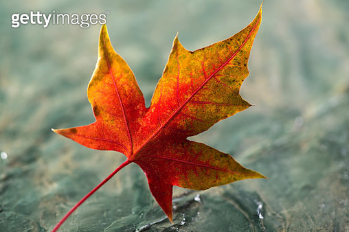 The maple leaf - gettyimageskorea