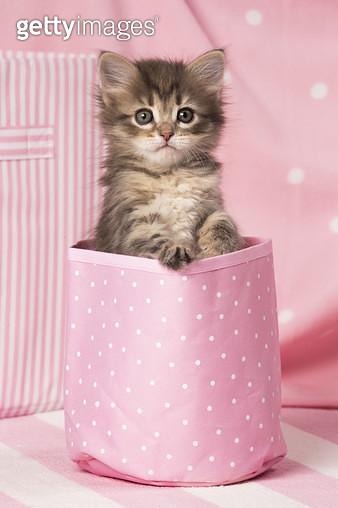 Cat Siberian kitten - gettyimageskorea