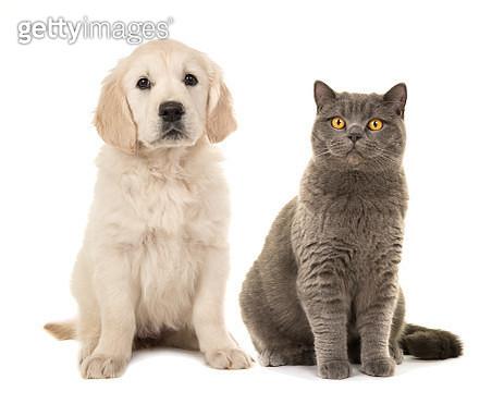 Blond Golden Retriever Puppy Dog And Grey British Short Hair Cat On A White Background - gettyimageskorea