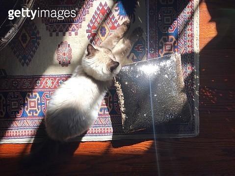 Ragdoll kitten. - gettyimageskorea