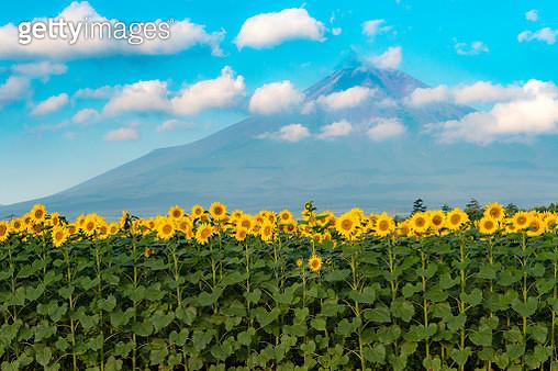 Summer Fuji and sunflower - gettyimageskorea