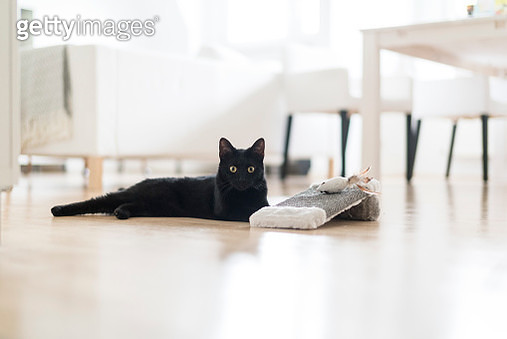 Black cat lying on the floor with toys in the living room - gettyimageskorea