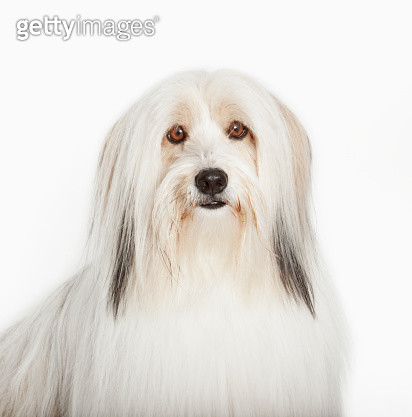 Close up of long-haired dog's face - gettyimageskorea