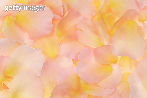 Soft, peachy, fragrant rose petals filling frame. - gettyimageskorea