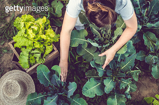 Young Woman Harvesting Home Grown Lettuce - gettyimageskorea