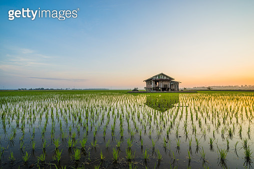 Abandoned wooden house in middle of paddy field with a sunrise sky in the background. - gettyimageskorea