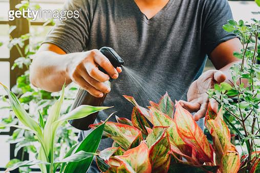 Cropped Hand Of Man Spraying Liquid fertilizer On Red Aglaonema Plant - gettyimageskorea