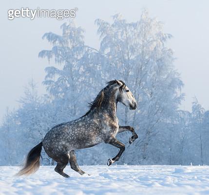 Rearing purebred Spanish horse - gettyimageskorea