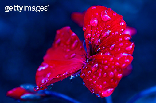 Beautiful red colours with great depth of field and water drops. - gettyimageskorea