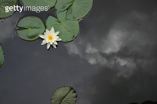 Serene shot of lilipads and a flower floating on a pond. Clouds reflected in the pond. - gettyimageskorea