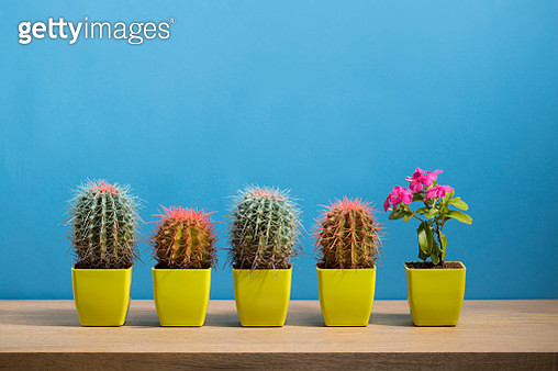 One flowering plant on a sideboard, next to a row of cactus plants. - gettyimageskorea