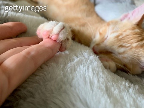 Tabby kitten holds on to pinky finger while napping on a cozy white blanket - gettyimageskorea