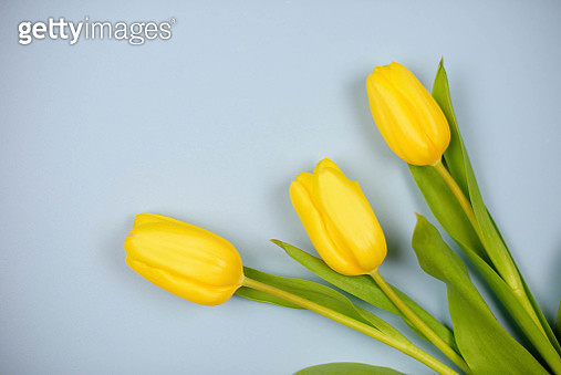 Close-Up Of Yellow Tulips Over Gray Background - gettyimageskorea