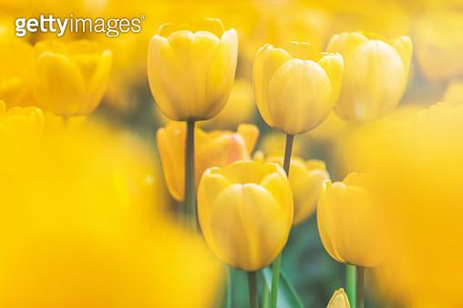 USA, Washington State, Skagit Valley, tulip field, yellow tulips, close-up - gettyimageskorea
