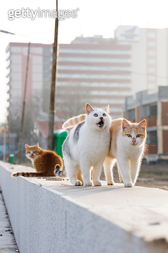 Stray cats interacting with each other - gettyimageskorea