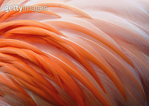 Soft details and colors of the body feathers of a Flamingo in Florida - gettyimageskorea