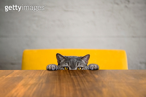 Big-eyed naughty obese cat looking at the target. British sort hair cat. - gettyimageskorea