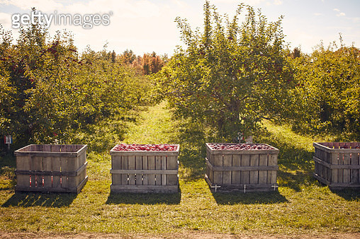 Crates of apples in orchard - gettyimageskorea