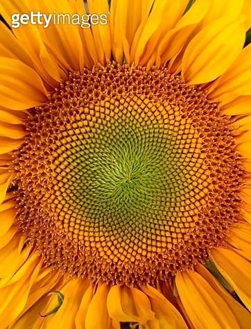 Full Frame Shot Of Sunflower - gettyimageskorea