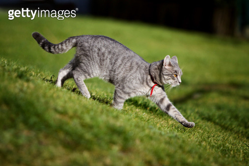 A cat walks on the grass with paw stretched out - gettyimageskorea