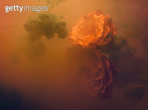 Roses in a tank of water and dissolving paint - gettyimageskorea