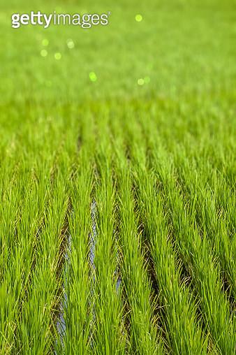 Paddy field - gettyimageskorea