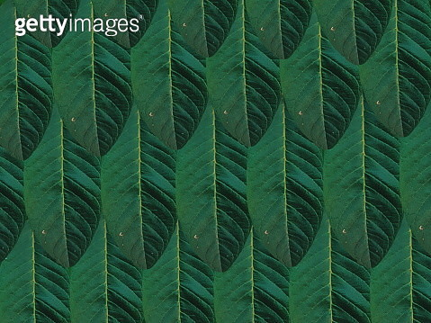 Guava Leaves - gettyimageskorea