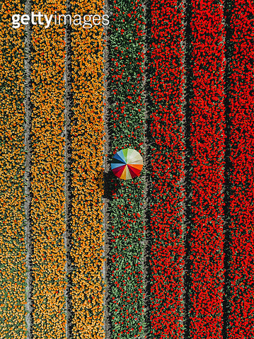 Tulip field and person holding an umbrella as seen from above, Netherlands - gettyimageskorea